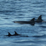P1240183 delfini copia