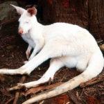 img042 canguro albino ok