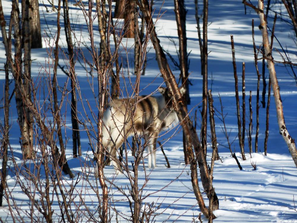 P1150515 alce nel bosco piccola